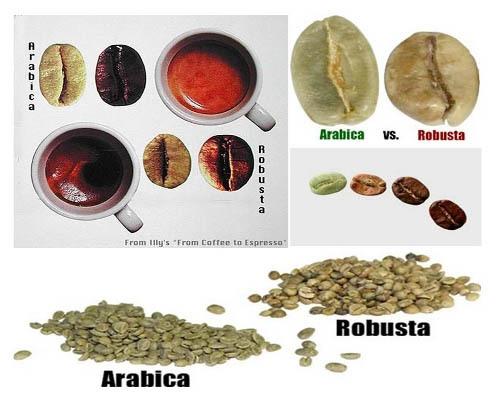 Phân biệt cafe hạt Arabica và Robusta