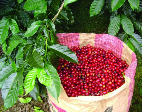 Thu hái trái cafe sạch đúng tầm chín
