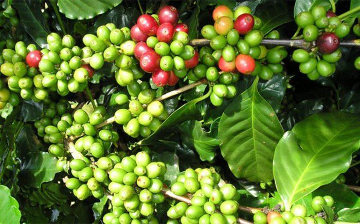 Theo chân Nguyên Chất Coffee khám phá những vùng đất ở Việt Nam mà cà phê arabica phát triển .