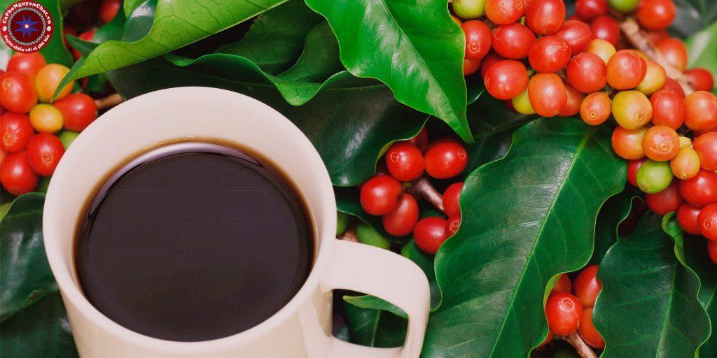 Khám phá về đặc trưng, hương vị của cà phê Robusta.