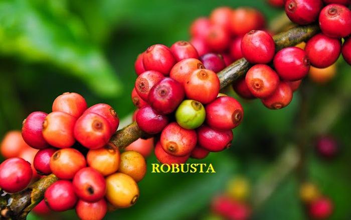 Cây cà phê Robusta